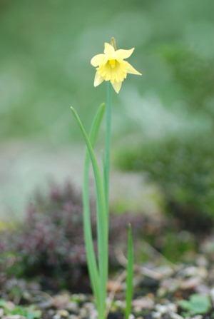 Narcissus Cedric Morris