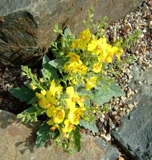 Verbascum x letitia